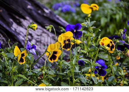 Flowers pansies bright yellow and blue colors with a dark mid-closeup
