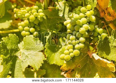 closeup of Sauvignon Blanc grapes on vine in vineyard