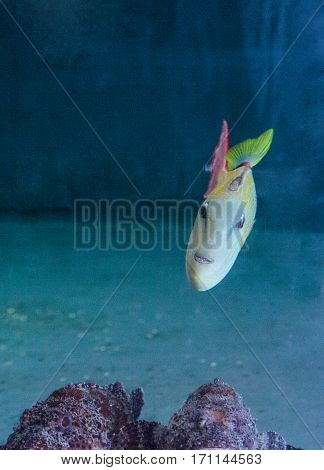 Red Tail Triggerfish Xanthichthys Mento