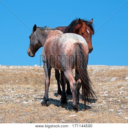 Wild Horse Mustang Bay Band Stallion with his Strawberry Red Roan Mare on Sykes Ridge in the Pryor Mountains Wild Horse Range on the Wyoming Montana state line US of A