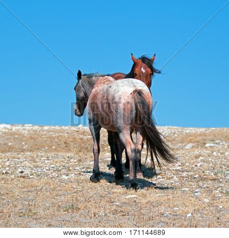 Wild Horse Mustang Bay Band Stallion with his Strawberry Red Roan Mare on Sykes Ridge in the Pryor Mountains Wild Horse Range on the Wyoming Montana state line USA in North America