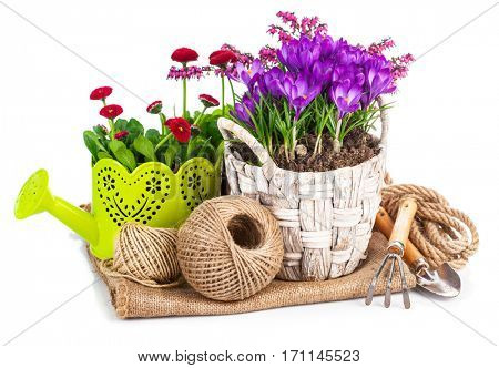 Garden spring flowers crocus in wicker basket with watering can tools. Isolated on white background