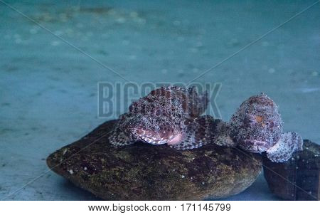 California Scorpion Rockfish Called Scorpaena Guttata