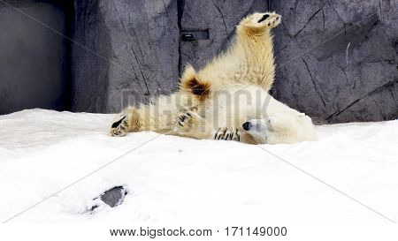 Polarbear North Pole Animal Snow Winter