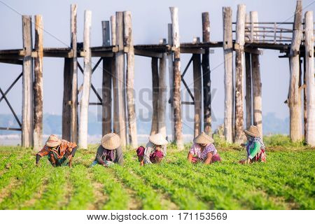 farmers at work around U-Bein Bridge Amarapura Mandalay Myanmar farm agriculture industrial concept