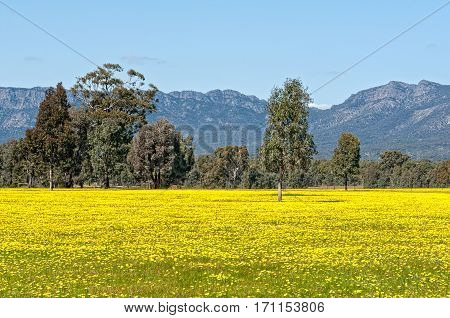 Field of blooming canola at the foot of the Grampians Ranges