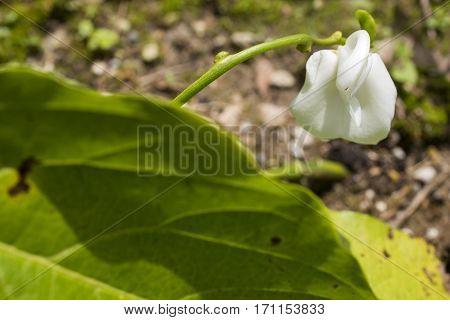 White sword bean flower and green leaf in summer