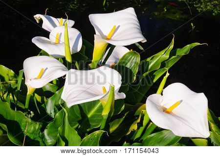 Bunch of wild growing calla lilies in the Grampians National Park
