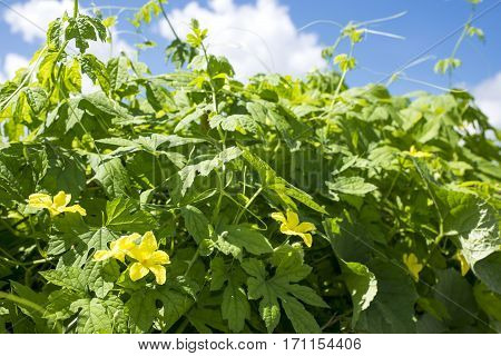 Yellow bitter melom flowers and green leaves under blue sky