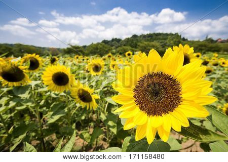 Close up bright yellow sunflower in flower field under sky