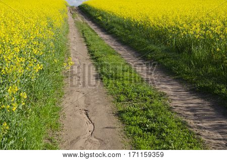 rural gravel road and blossoming rapeseed fields