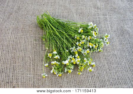 fresh medical herbs chamomile flowers bunch on linen background