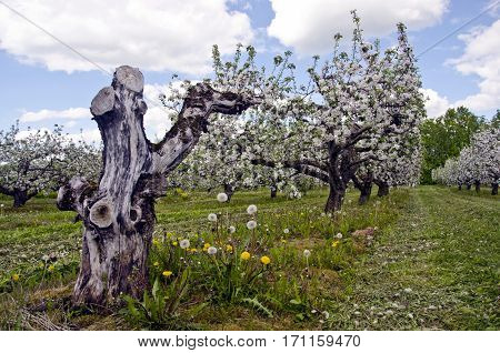 beautiful springtime blossoming orchard garden and old dry appple tree trunk