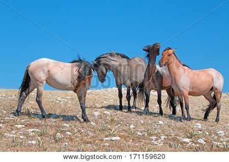 Small Band of Mustangs on Sykes Ridge in the Pryor Mountains Wild Horse Range in Montana U S A
