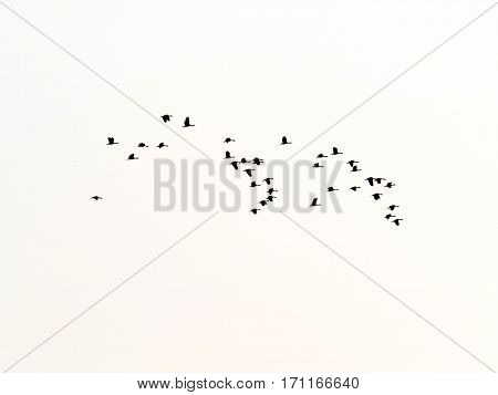 silhouette flock of birds flying isolated background