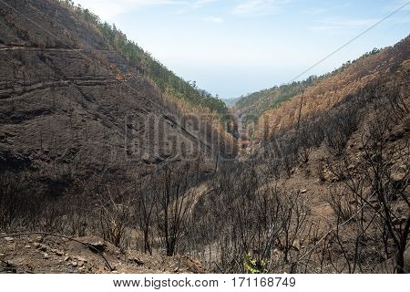 World heritage forests of Madeira terribly destroyed by fires in 2016. Some of trees have enormous will of life and survived this disaster.