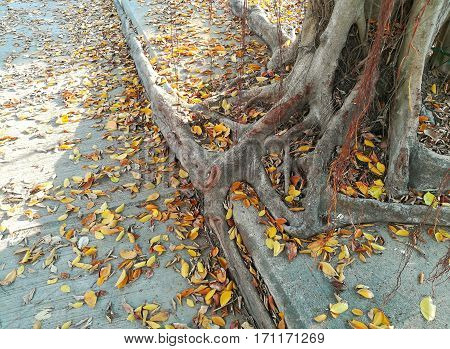 Banyan Tree's root on the concrete footpath. Concept for 'adapt to the city'