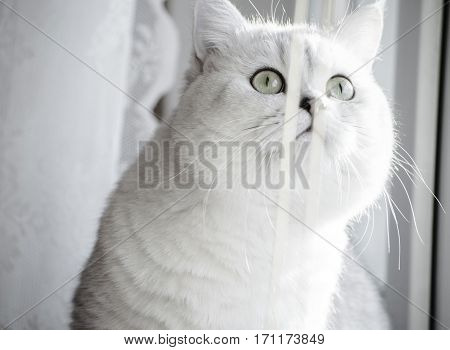 an amazing cute animal, pedigreed cat, British silver short hair cat with green eyes and black eye liner