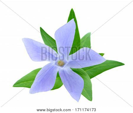 periwinkle flower isolated on a white background