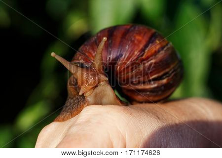 the big Achatina snail in a hand