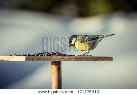 Great tit Parus Major on feeder at winter day