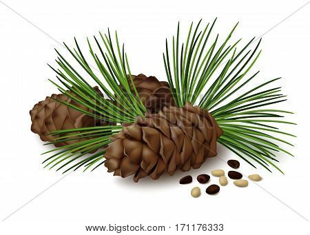 Pine cones with nuts and pine needles on white background. Vector illustration.