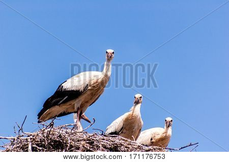 Storks In The Nest With Chicks