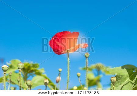 The Red Poppy Flower In Field On Blue Sky Background With The Sun