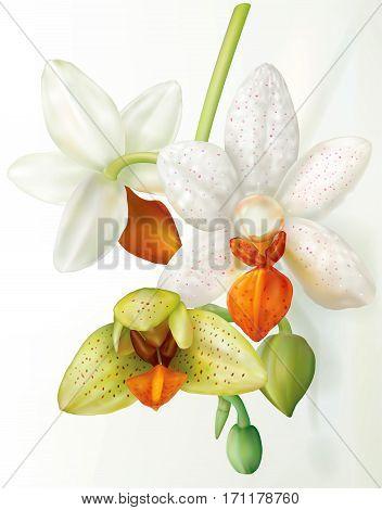 Phalaenopsis Mini Mark flower that blooms. Vector illustration