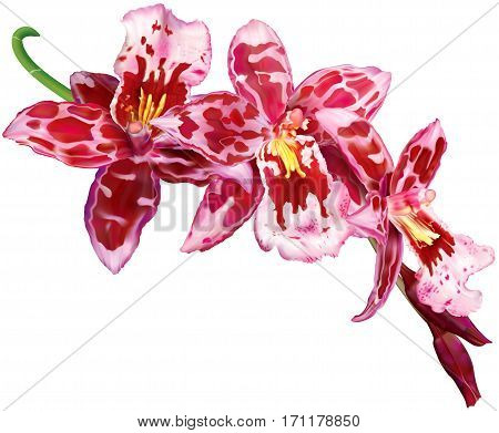 Twig of blooming Beallara orchids flowers. Vector illustration