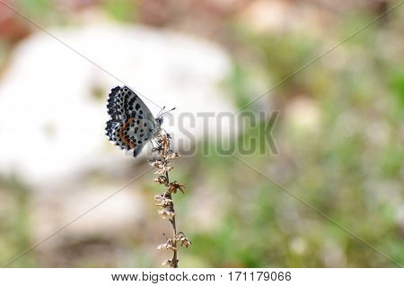 Scolitantides orion, the chequered blue butterfly, small blue