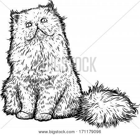Persian cat illustration, drawing, engraving, line art