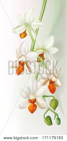 Branch with orchid flowers Phalaenopsis Mini Mark Holm on a white background. Vector illustration