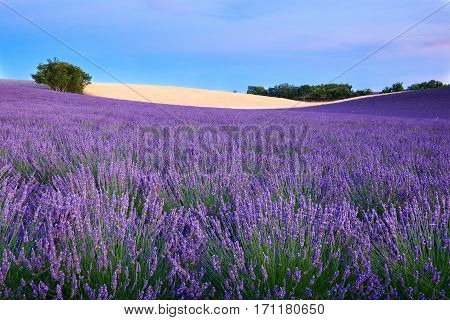 In Valensole trees a lavender field and a sky full of clouds