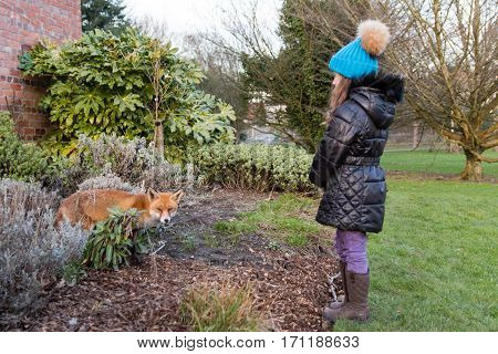 Urban fox next to young child in park, during the day. Hungry lame animal seeks food during afternoon in Bute Park Cardiff Wales UK