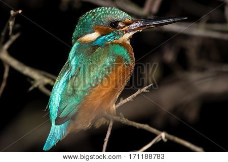 Kingfisher (Alcedo atthis) perching on branch at night. Common kingfisher in the family Alcedinidae roosting on alder on river bank isolated against black background