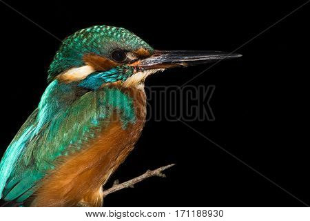 Kingfisher (Alcedo atthis) perched against black background. Common kingfisher in the family Alcedinidae roosting on alder on river bank isolated against black background