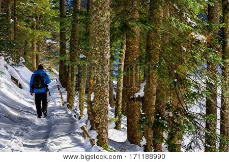 Synevyr Ukraine - January 28 2017: Tourists walk on a snow-covered path through a pine forest in the Carpathians.