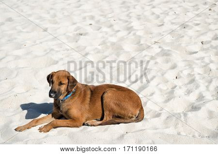 Brown Dog On Laying On White Beach Sand