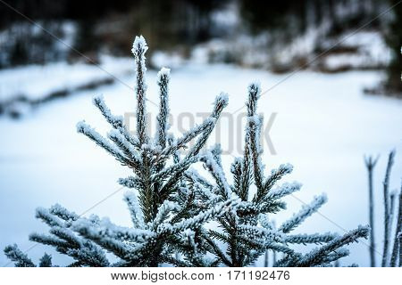 Frozen Trees Covered By Snow And Ice Crystals In Winter.
