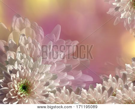 flower on blurry pink-yellow background bokeh. Pink-white flowers chrysanthemum. floral collage. Flower composition. Nature.