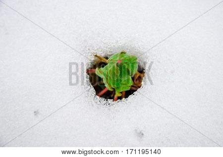 Image Of Early Sprout Appearing From Melting Snowcover