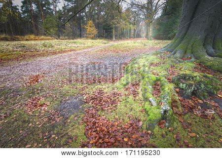Ancient roots of an old beech with couple walking in warm autumn forest
