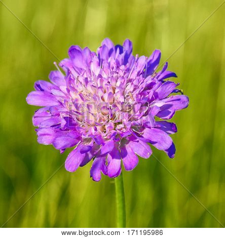 Violet cornflowers with bokeh, floral nature background. Summer wildflowers. Wild cornflowers in the green meadow.