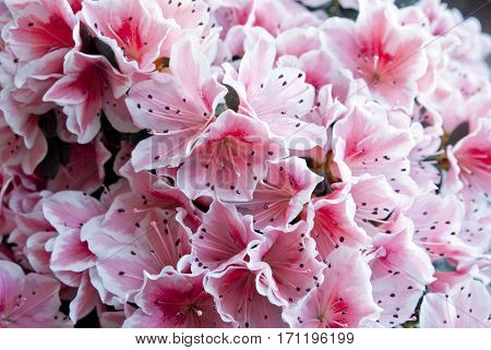 Image of a blossoming of azalea pink flowers (background)