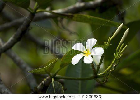 An image of a white frangipani flower