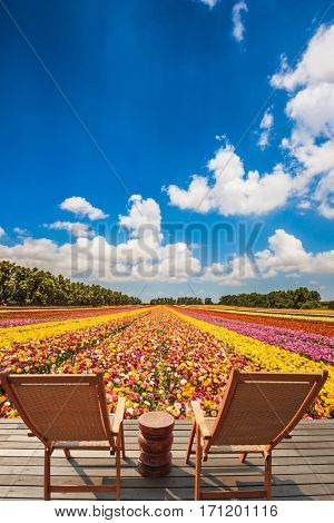 Pair of comfortable wooden sun loungers are on the platform. Huge field of blossoming garden buttercups-ranunculus. Warm spring day in Israel
