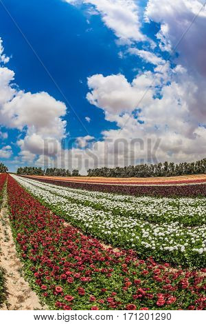 Spring in Israel. Magnificent flowering garden buttercups. Photo taken fisheye lens. The concept of modern agriculture and industrial floriculture
