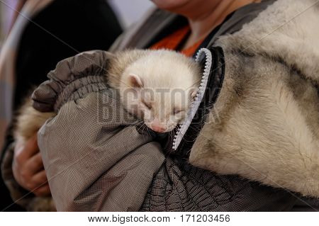 woman holds a beautiful and cute ferret
