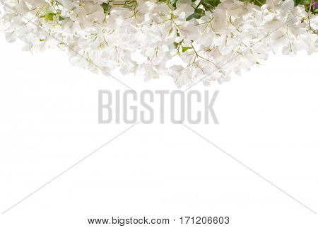 White blooming Bougainvillea  isolated on white background.